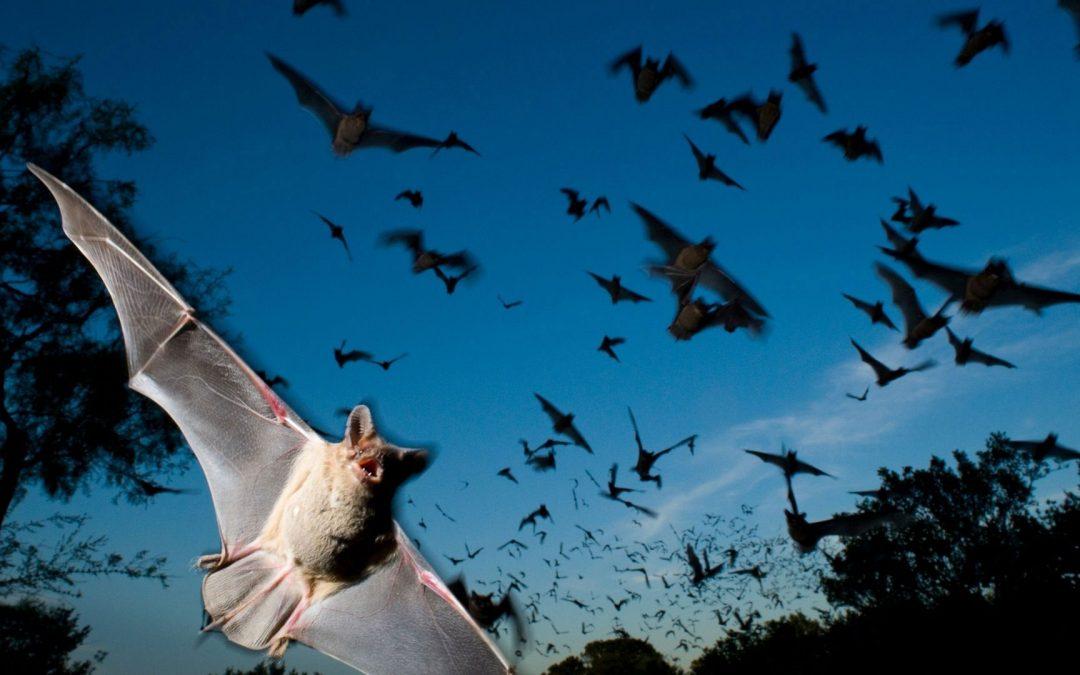 Listening | Animals – Bats
