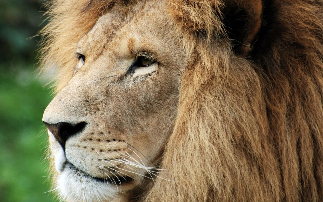 Do You Know | What Do You Know about Lions?