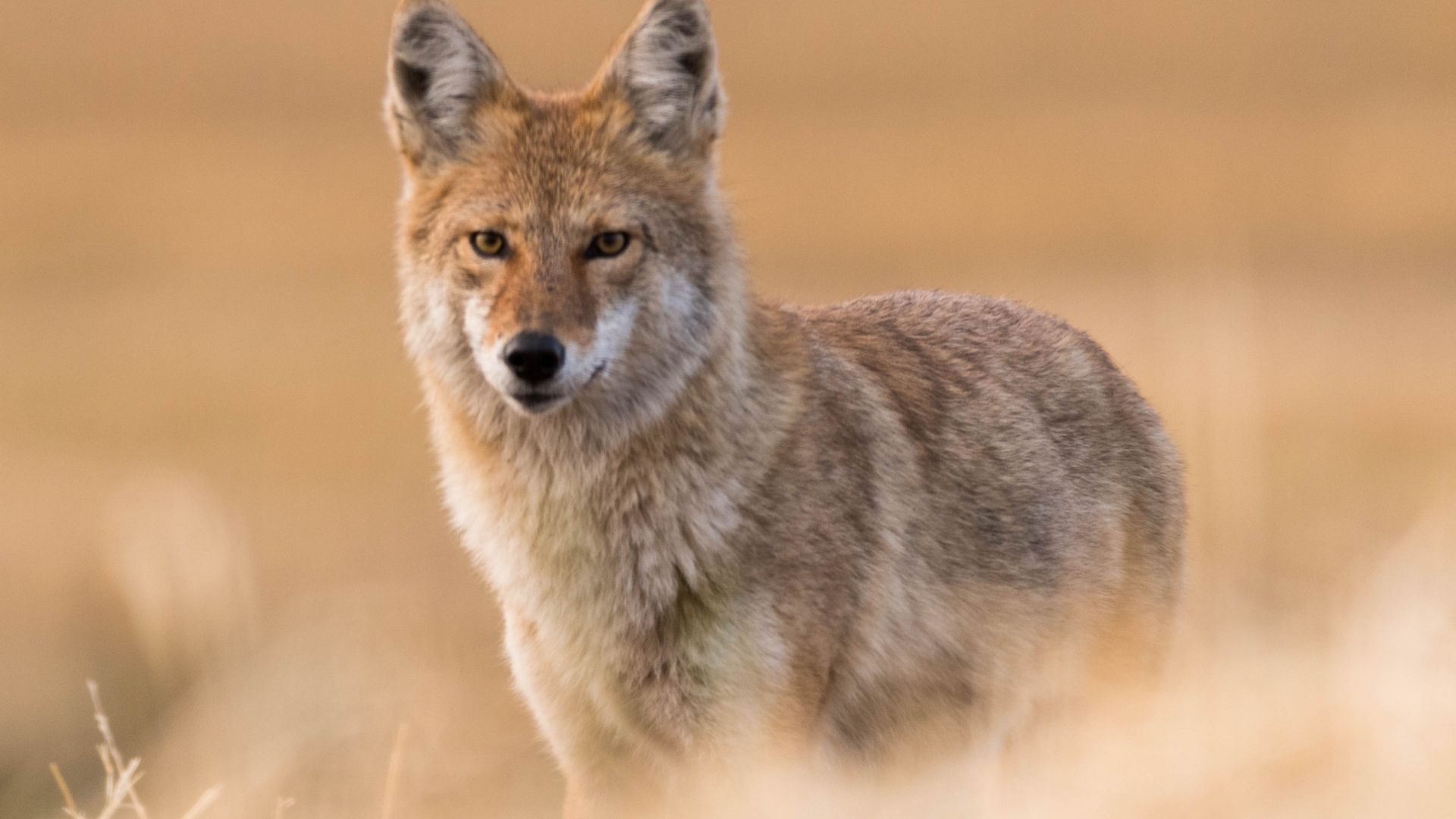 Episode 449 Word Power - Coyote Enters the Upper World