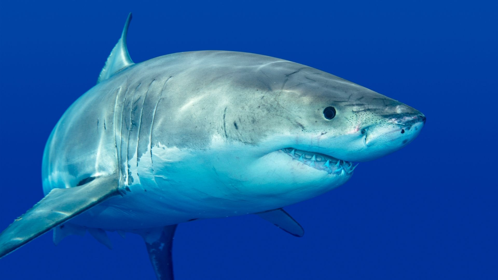 Episode 500 What Do You Know about Sharks