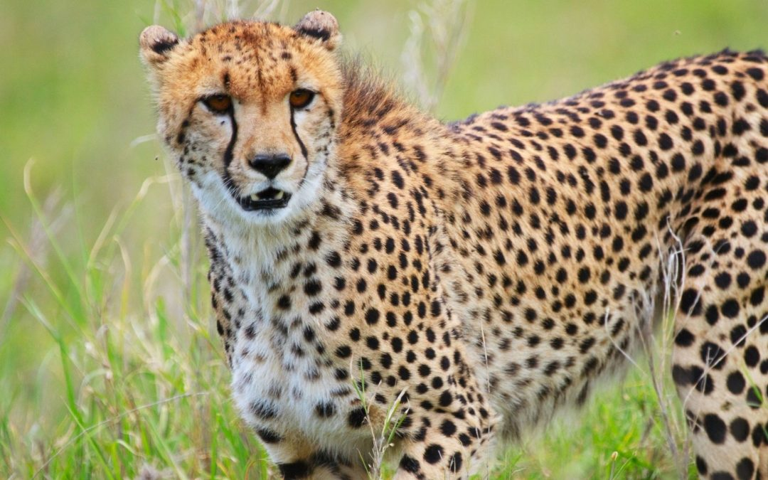Knowledge Plus | What Do You Know About Cheetahs?