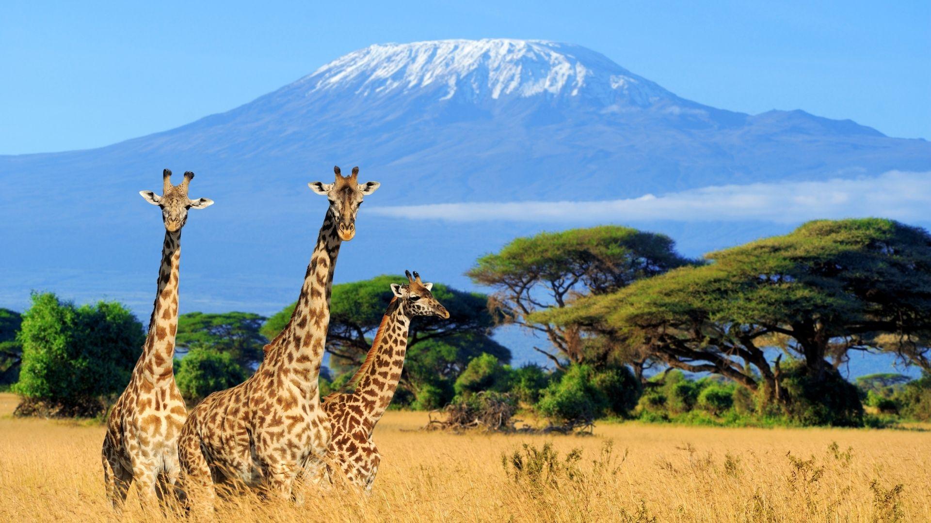 Episode 556 Do You Know - Giraffes